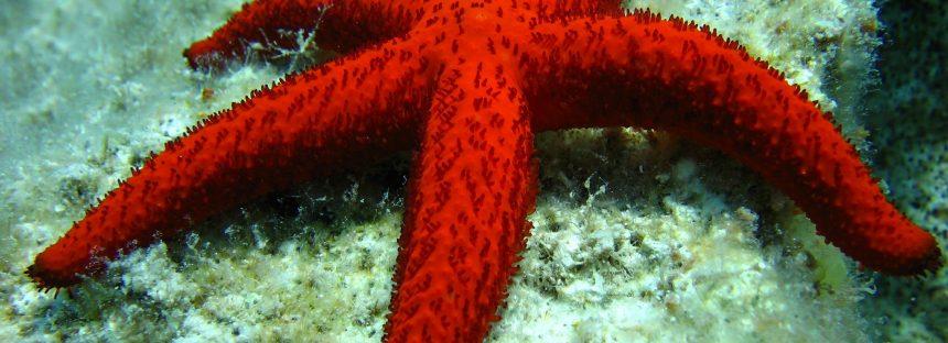 Describen la primera enfermedad que afecta a una única especie de estrella de mar antártica