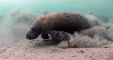 Múltiples factores ambientales y antropogénicos fueron las causas de la mortandad de manatíes en Tabasco