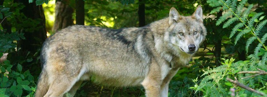 Un ejemplar de lobo muere atropellado
