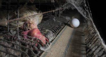 Gallinas ponedoras entre parásitos y restos de animales en descomposición