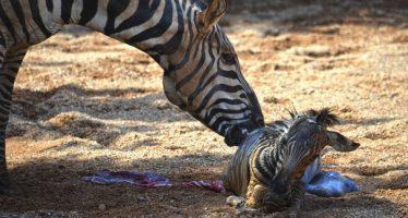El rescate de una cebra recién nacida tras caer al agua en el Bioparc de Valencia