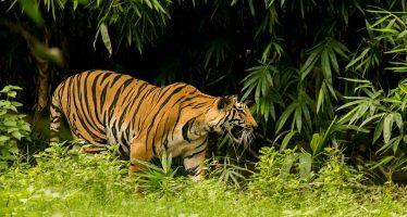 El Supremo de India autoriza la caza a muerte de una tigresa devoradora de hombres