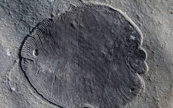 'Dickinsonia', el animal más antiguo que se conoce