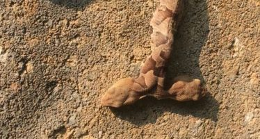 Una serpiente venenosa de dos cabezas aparece en un patio en EE UU