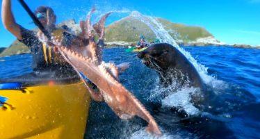 Una foca lanza un pulpo a la cara de un kayakista