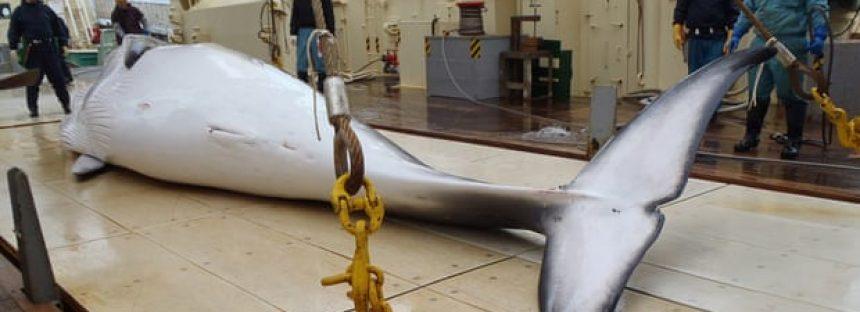 Japón mató a 50 ballenas en el área protegida antártica, según muestran los datos