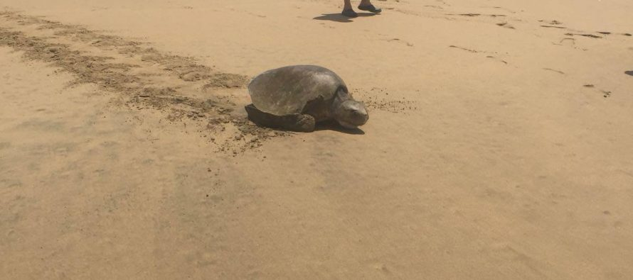 Rescatan tortuga golfina atrapada en red de pesca