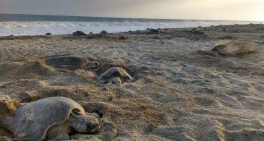 Continúa operativo para la protección de tortugas golfinas en las playas de Oaxaca; casi 800 mil ejemplares desovan