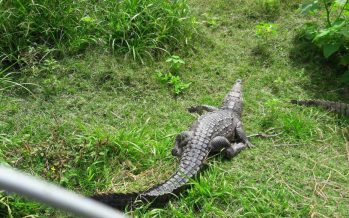 Rescatan ejemplar de cocodrilo en Oaxaca