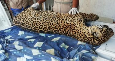 Localizan cuerpo de jaguar cazado en Veracruz; presentan denuncia contra presunto responsable