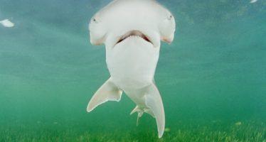 Primeras especies de tiburones omnívoros conocidas