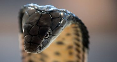 La serpiente venenosa más grande del mundo