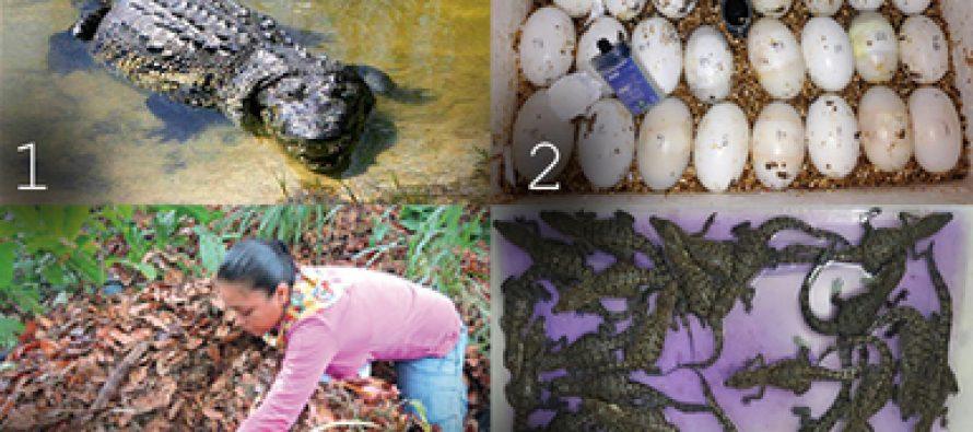 Especialistas debaten situación de los cocodrilos mexicanos y futuro