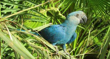 Confirma BirdLife extinción en vida silvestre de la guacamaya de Spix o azul (Cyanopsitta spixii)  y siete especies más