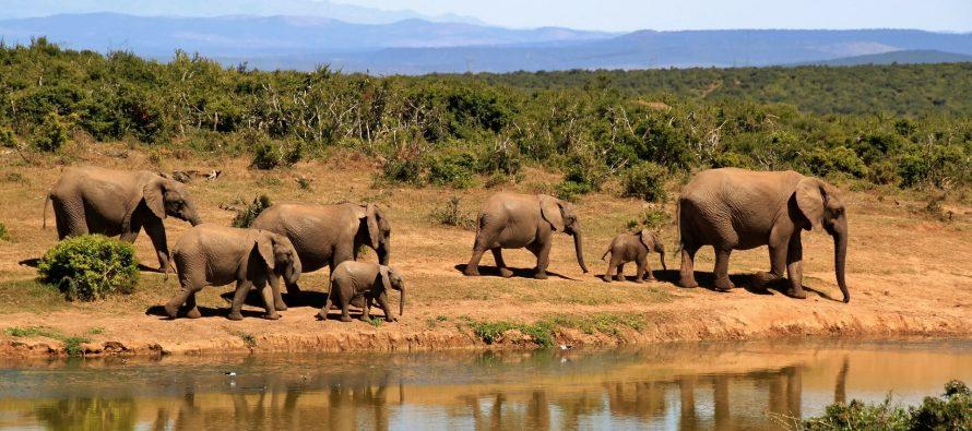 La juerga de caza furtiva en Botswana lleva 90 elefantes muertos en dos mese
