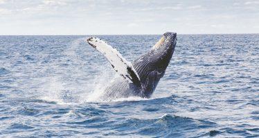 Australia se opondrá a la iniciativa de Japón de reintroducir la caza comercial de ballenas
