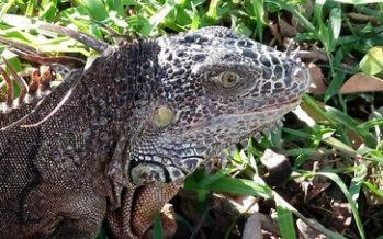 En Colima, liberaron una iguana verde (Iguana iguana) y 14 pollos de pato pichichi (Dendrocygna autumnalis)