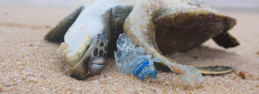 La probabilidad de que una tortuga marina muera tras ingerir una sola pieza de plástico es del 22%