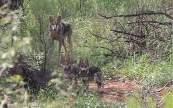 7 lobos mexicanos regresan a la vida libre