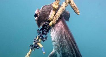 El, literalmente, desgarrador coste que está teniendo el control de tiburones en la Gran Barrera de Coral