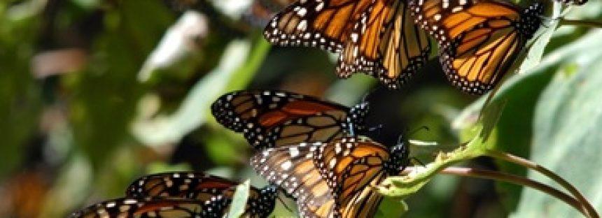 México, Estados Unidos y Canadá suman esfuerzos en la conservación y registro de la Mariposa Monarca