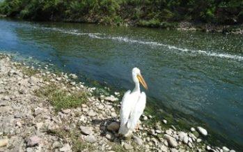 Liberan pelicano blanco americano encontrado en instalaciones de la UACH, en Chihuahua