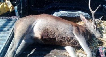 Ejemplar de ciervo rojo encontrado muerto en un vehículo en el estado de Hidalgo