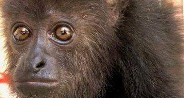 Cría de mono aullador, entregada de manera voluntaria