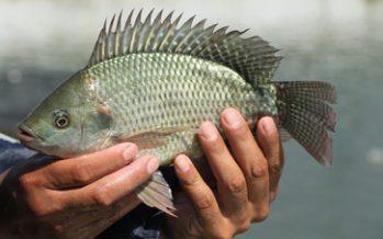 Asegura gobierno mexicano suficiente abasto y sanidad de tilapia en México, tras brote del virus de la Tilapia del Lago