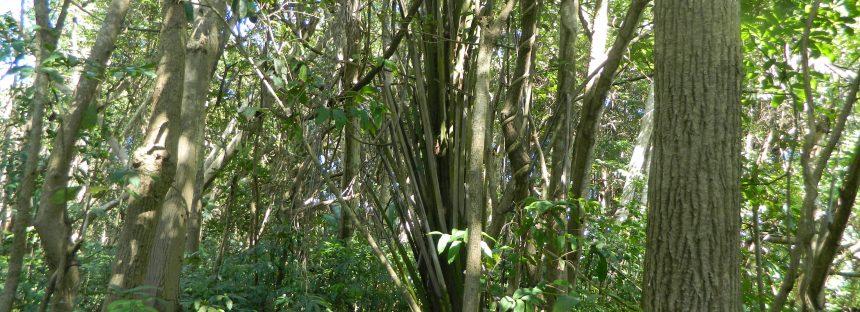 Avanza dispersión de las agresiva palma de aceite africana (Elaeis guineensis) en La Reserva de la Biósfera La Encrucijada, en Chiapas
