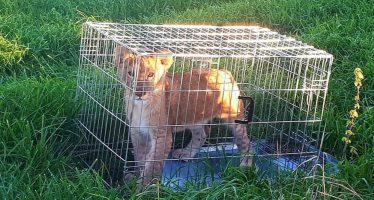 Abandonado un cachorro de león en el centro de Holanda