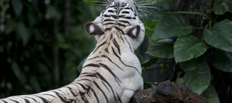 Un tigre blanco mata a un cuidador en su jaula del zoo japonés de Hirakawa