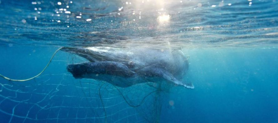 Una cría de ballena recién nacida es rescatada de las redes contra tiburones en Australia
