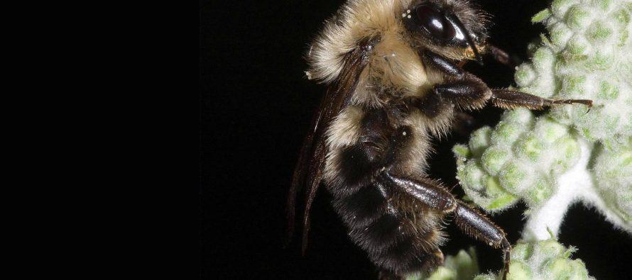 Las abejas dejaron de zumbar en el último eclipse solar total