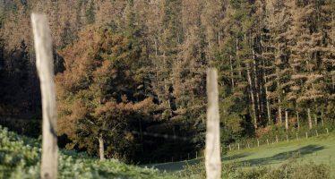 Euskadi decide fumigar con óxido cuproso miles de pinos enfermos