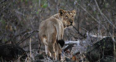 Los leones asiáticos mueren por la enfermedad del moquillo ante la pasividad de las autoridades indias
