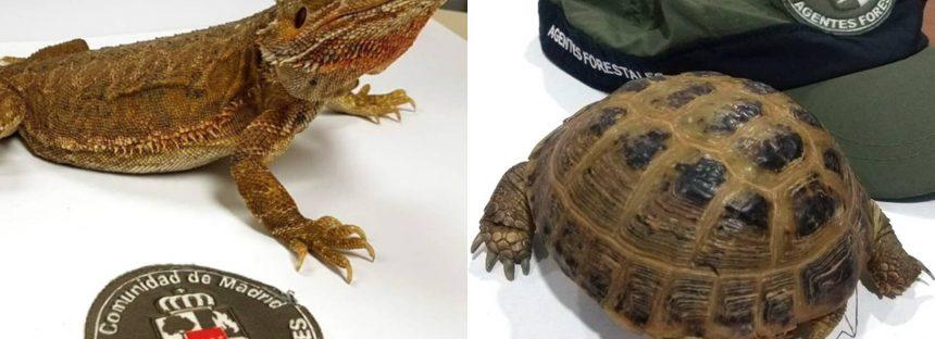 Recuperados una tortuga rusa y un dragón barbudo en la sierra de Madrid en solo tres días