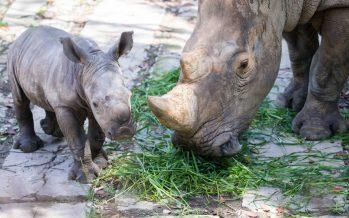China irrita a las ONG al autorizar el uso de productos de tigre y rinoceronte