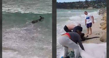Dos policías rescatan y reaniman a un canguro en una playa australiana