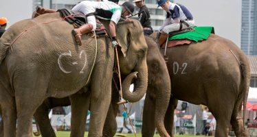 Las acusaciones de maltrato obligan a cancelar en Tailandia la Copa del Rey de Polo sobre Elefante