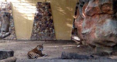 Revisión médica a jaguar del parque Papahayo descarta supuesta neumonía del felino