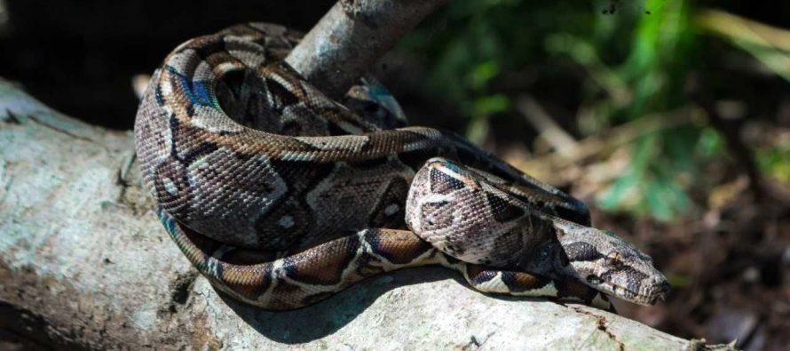 Liberan cría de boa constrictora y culebra parchada mexicana