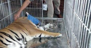 Aseguran a dos leonas y un tigre de bengala en domicilio de Ciudad Juarez, Chihuahua