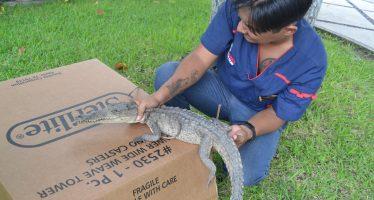 Liberan ejemplar de cocodrilo juvenil en su hábitat natural en Colima