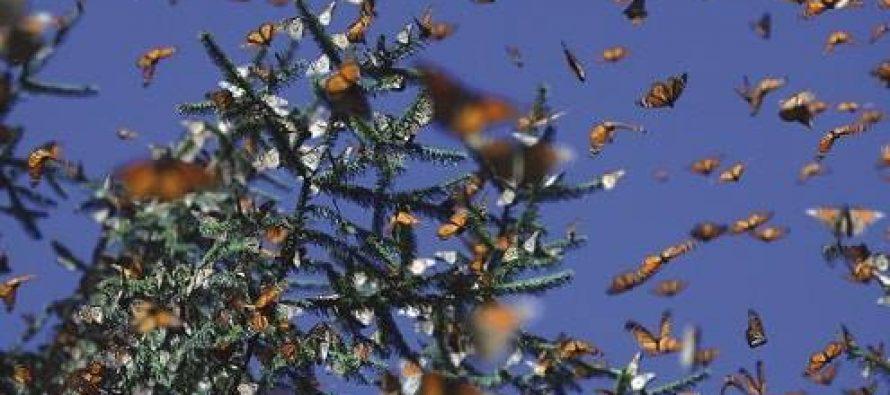Realizan actividades de inspección y vigilancia en reserva de la biosfera mariposa monarca; disminuye 57.6% afectación forestal: WWF
