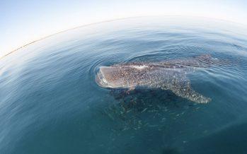 Campaña para proteger al tiburón ballena