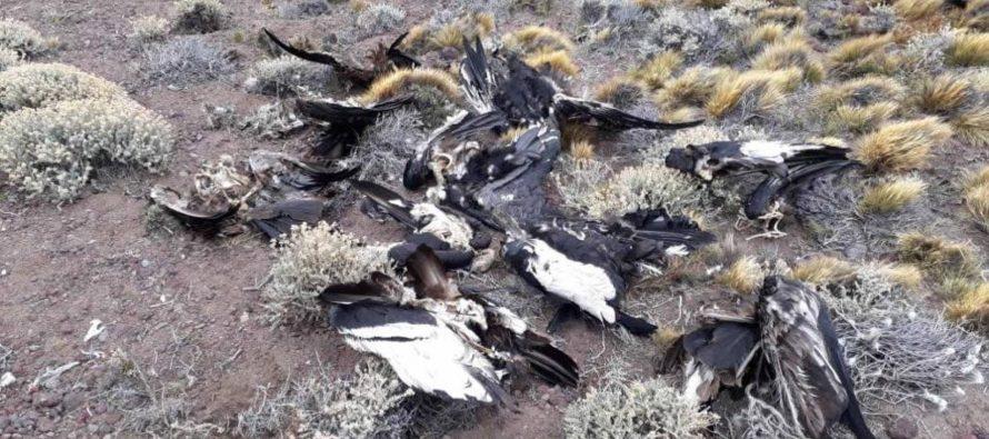 Los agroquímicos matan cóndores en Argentina