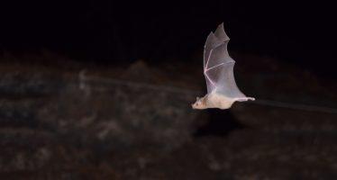 México es hogar de 138 especies de murciélagos