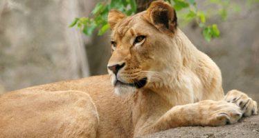 Una leona mata al padre de sus tres crías en un zoo