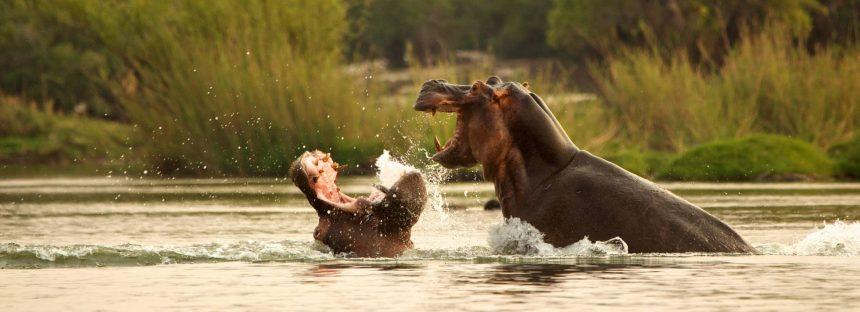 Zambia reactiva su plan para sacrificar a 2.000 hipopótamos